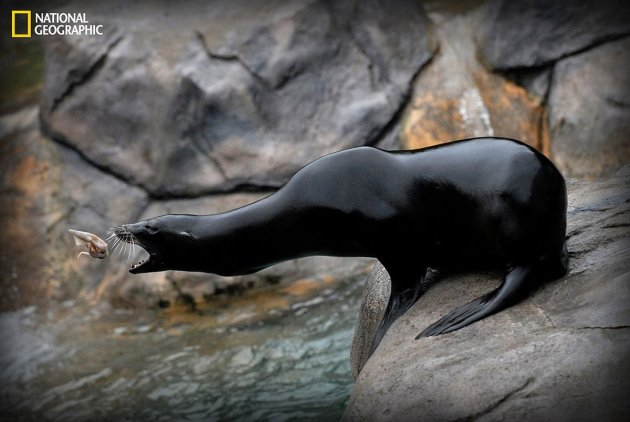 im-amazed-how-easy-the-sea-lions-catch-their-food-this-photographer-says-of-lily-a-sea-lion-at-the-seneca-park-zoo-in-new-york