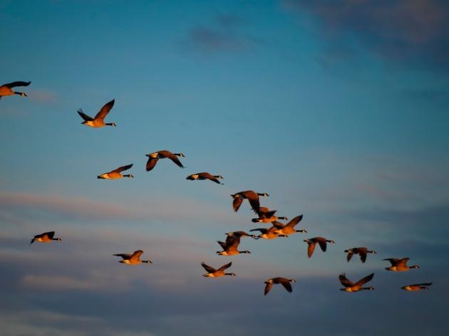 birds-in-v